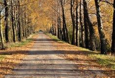 березы осени переулка стоковое фото rf