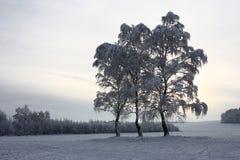 3 березы после снежности стоковые фотографии rf