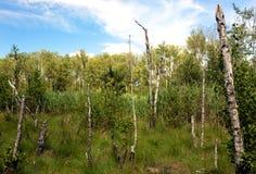 Березы склонности на болоте леса Стоковые Фотографии RF