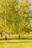 Березы с листьями зеленого цвета и желтого цвета, листьями березы осени Стоковое фото RF
