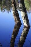 березы Стоковая Фотография RF