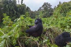 Беременная дама гориллы в Руанде стоковая фотография rf