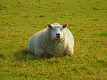 Беременная овца Стоковое фото RF