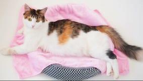 Беременность кота Беременный кот ситца при большой живот кладя на розовую ткань смотря камеру Белая предпосылка видеоматериал