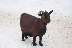 Беременный цвет коричневого цвета козы Стоковая Фотография