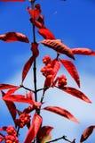 Бересклет Europaeus Стоковая Фотография