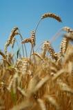 берет пшеницу на острие Стоковая Фотография RF