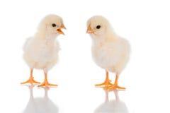 беседа цыпленока Стоковое Изображение
