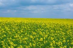 Бесконечное желтое поле цветков Стоковая Фотография