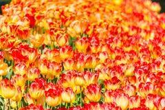 Бесконечное поле желтых и красных тюльпанов Стоковое Изображение