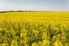 Бесконечное поле рапса рапс поля Желтые поля рапса и голубое небо с облаками в солнечной погоде Сельское хозяйство Стоковые Изображения