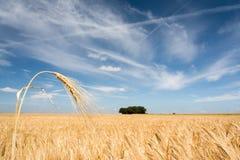 Бесконечное пшеничное поле стоковая фотография rf
