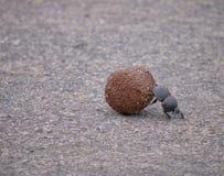 Бескрылый жук стоковое фото rf