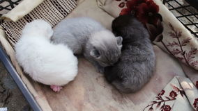 Беспомощные слепые newborn котята разводят великобританское сокращать-ушастое в коробке акции видеоматериалы