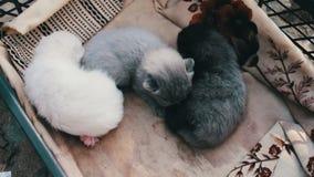 Беспомощные слепые newborn котята разводят великобританское сокращать-ушастое в коробке видеоматериал