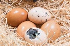 Беспомощный маленький цыпленок все еще влажный после насиживать Стоковая Фотография RF