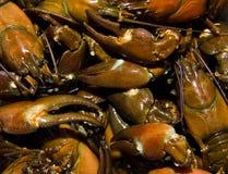 беспредел crayfish Стоковое фото RF