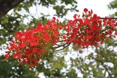 Бессвязное красное дерево цветка Стоковые Изображения