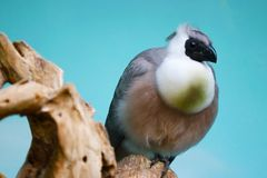 Бесстыдное personatus corythaixoides идти-прочь-птицы сидя na górze ствола дерева перед голубой предпосылкой Стоковая Фотография