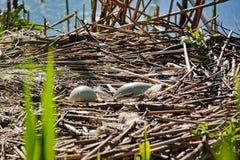 Бесхозные яйца лебедя стоковое изображение rf