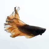 Бета рыбы закрывают вверх Стоковое Изображение