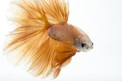 Бета рыбы закрывают вверх Стоковые Фото