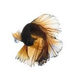Бета рыбы закрывают вверх Стоковые Изображения RF