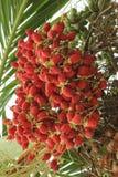 бетэл - красный цвет гайки Стоковые Фотографии RF