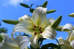 Белая азиатская лилия Стоковые Фотографии RF