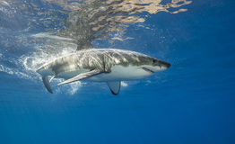 Белая акула подводная Стоковые Фото