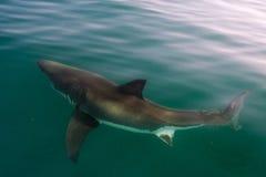 Белая акула (carcharias Carcharodon) стоковое фото rf