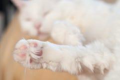 Белая лапка кота Стоковые Изображения RF