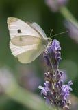 Белая бабочка в лаванде Стоковая Фотография