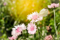 белая бабочка зацветая розовый Cornflower сада, цент Стоковая Фотография