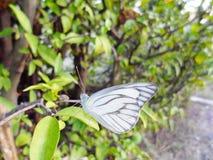 Белая бабочка которая смотрит мирной Стоковое Фото