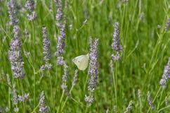Белая бабочка на лаванде Стоковые Фотографии RF