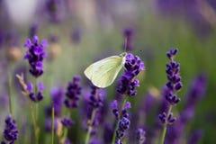Белая бабочка на зацветая лаванде Стоковое Изображение RF