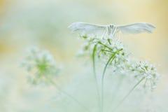 Белая бабочка на мягкой предпосылке Белые сумеречницы шлейфа, pentadactyla Pterophorus в мягком фокусе Стоковая Фотография RF