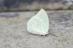 Белая бабочка на поле Стоковые Изображения