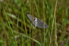 Белая бабочка на луге стоковая фотография