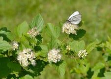 Белая бабочка на цветке spirea Стоковые Фото