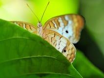 Белая бабочка павлина Стоковые Изображения