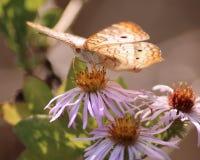 Белая бабочка павлина Стоковые Изображения RF