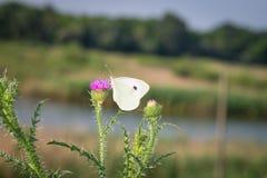 Белая бабочка собирает цветень от цветков Стоковая Фотография
