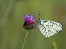 Белая бабочка Стоковое Фото