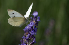 Белая бабочка Стоковые Фотографии RF