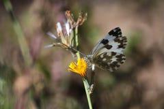 Белая бабочка Стоковые Изображения