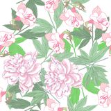 Белая безшовная картина с розовыми пионами Стоковое Фото