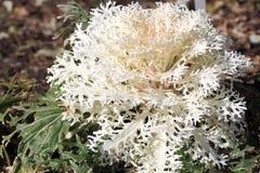 Белая орнаментальная капуста Стоковые Изображения RF