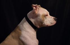 Белая большая собака на темной предпосылке Стоковые Изображения RF